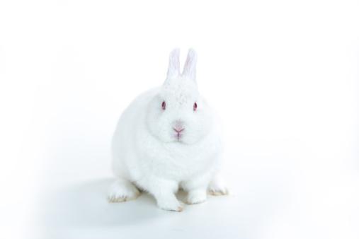 うさぎ「White rabbit facing camera」:スマホ壁紙(16)
