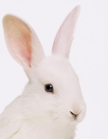 Animal Ear「White rabbit (Oryctolagus cuniculus), close up」:スマホ壁紙(1)