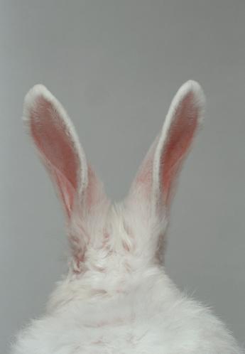 Animal Ear「White rabbit with ears up, rear view (Digital Enhancement)」:スマホ壁紙(13)