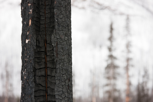 Yoho National Park「Burnt tree in a forest near Field, Yoho National Park in the Canadian Rockies, Canada」:スマホ壁紙(3)
