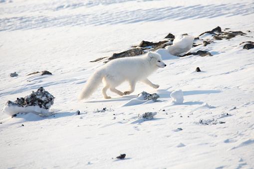 Animals Hunting「White arctic fox walking in the snow」:スマホ壁紙(14)