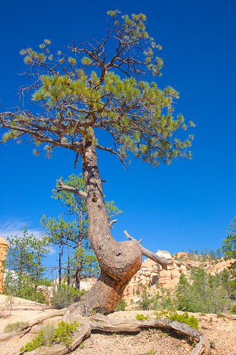 Tree「Lone tree with curled trunk at Mossy Cave Trail, Bryce Canyon NP, Utah」:スマホ壁紙(15)