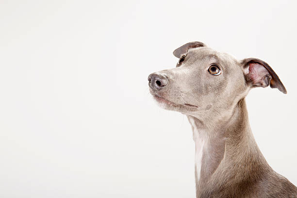 whippet looking up in profile:スマホ壁紙(壁紙.com)