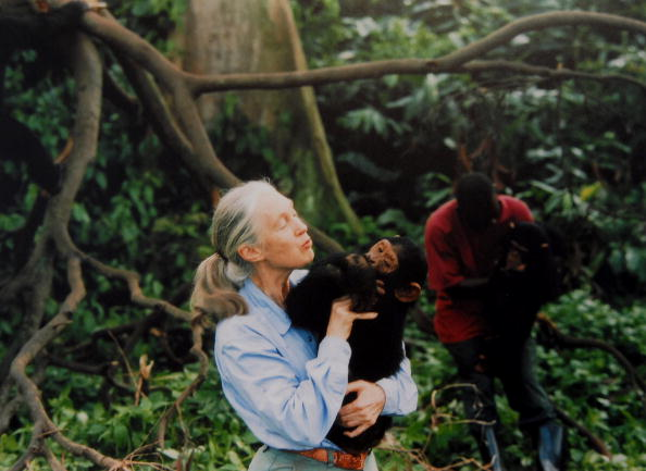 Monkey「Jane Goodall, English primatologist, ethologist, and anthropologist, with a chimpanzee in her arms, c. 1995」:写真・画像(9)[壁紙.com]
