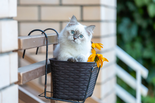 Animal Whisker「Siberian kitten in a basket」:スマホ壁紙(6)