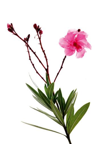 葉・植物「'Oleander flower, close-up'」:スマホ壁紙(12)