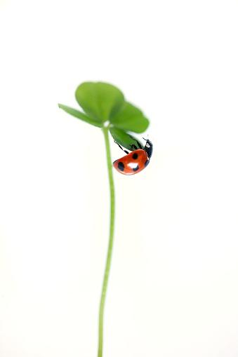 Ladybug「Ladybug on a clover leaf」:スマホ壁紙(6)
