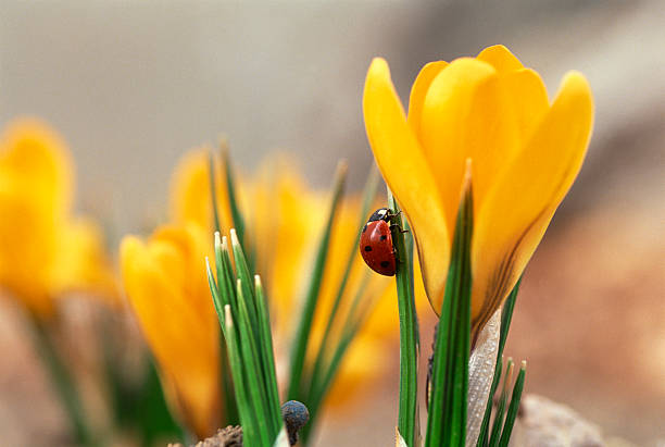 Ladybug on crocus flower:スマホ壁紙(壁紙.com)