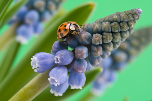 Grape Hyacinth「Ladybug on grape hyacinth (muscari armeniacum)」:スマホ壁紙(19)