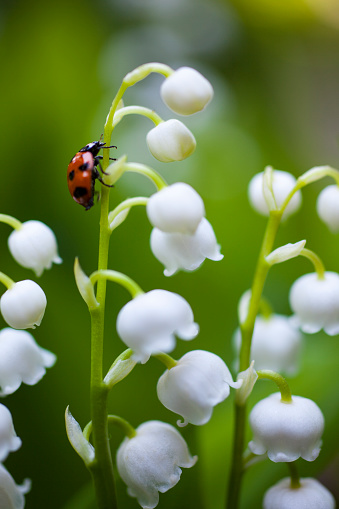 Hawthorn「Ladybug on the lily of the valley」:スマホ壁紙(5)