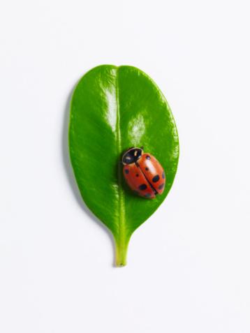 Ladybug「Ladybug on round leaf」:スマホ壁紙(9)