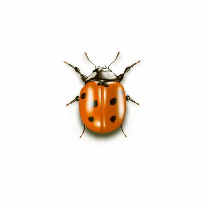Ladybug「Ladybug on white Background」:スマホ壁紙(8)