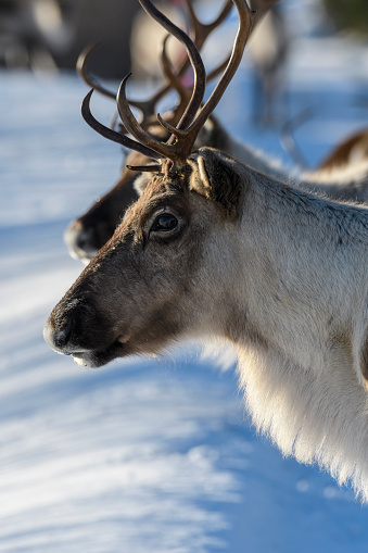 Sled「Reindeer grazing in the snow during winter in Northern Norway」:スマホ壁紙(18)
