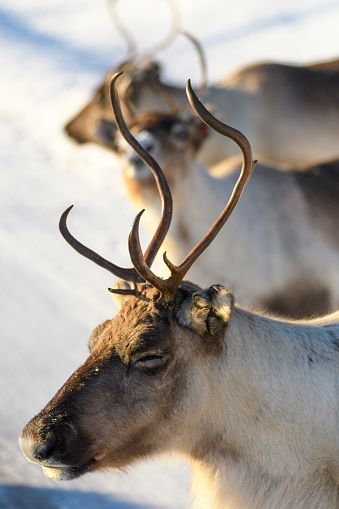 Sled「Reindeer grazing in the snow during winter in Northern Norway」:スマホ壁紙(16)