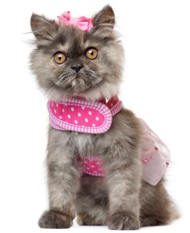 子猫「Persian kitten (3 months old)」:スマホ壁紙(18)