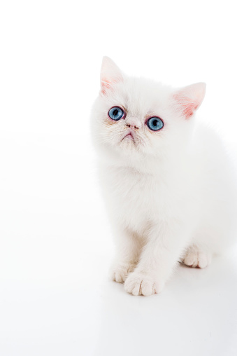 Kitten「Persian Kitten with blue eyes」:スマホ壁紙(18)