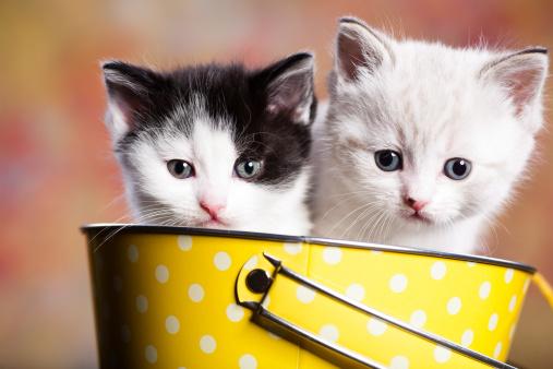 子猫「persian kitty」:スマホ壁紙(6)