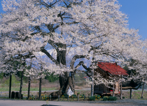 Cherry Blossom「Kobozakura, Shizukuishi, Iwate, Iwate, Japan」:スマホ壁紙(18)