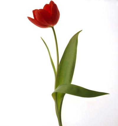 チューリップ「Red Tulip」:スマホ壁紙(11)