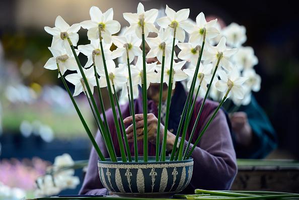 スイセン「Final Preparations Are Made For The Opening Of The Harrogate Flower Show」:写真・画像(16)[壁紙.com]
