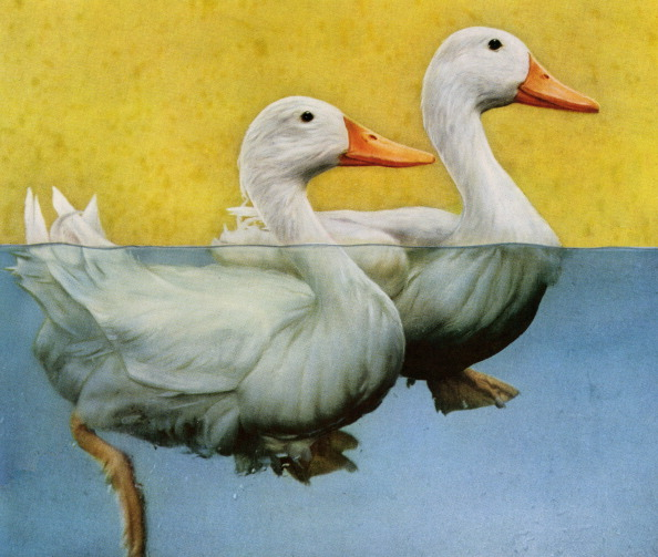GraphicaArtis「Two Ducks Swimming In A Pond」:写真・画像(2)[壁紙.com]