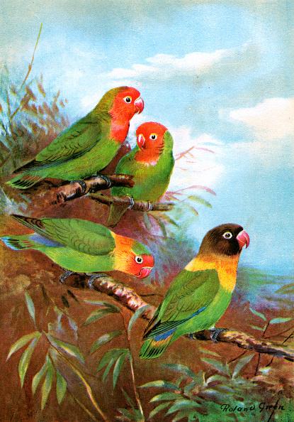 Perching「Four Red-Headed Lovebirds」:写真・画像(12)[壁紙.com]