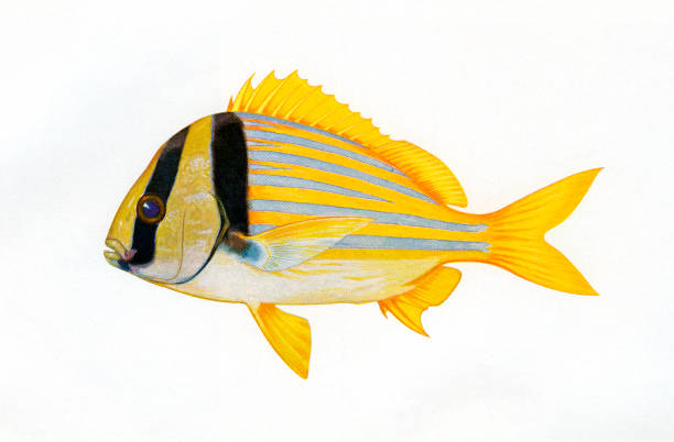 Illustration Of A Porkfish:ニュース(壁紙.com)