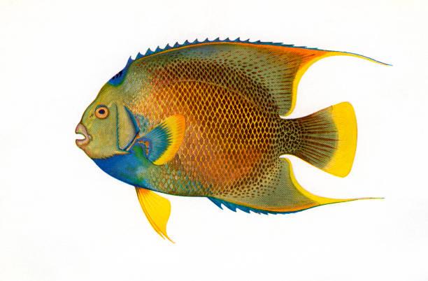 Illustration Of Blue Angelfish:ニュース(壁紙.com)