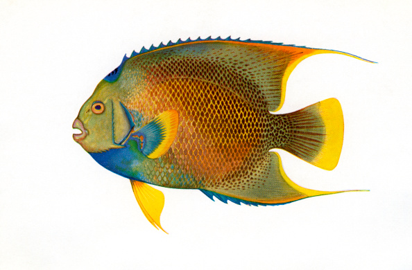 魚・熱帯魚「Illustration Of Blue Angelfish」:写真・画像(3)[壁紙.com]