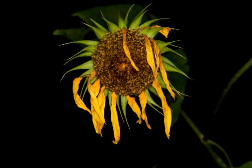 ひまわり「Dead sunflower」:スマホ壁紙(18)