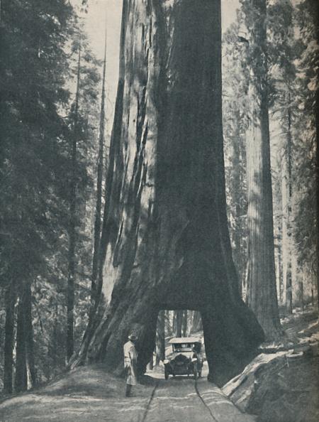 Sequoia Tree「Fine Specimen Of The Largest Organism That Ever Lived」:写真・画像(1)[壁紙.com]