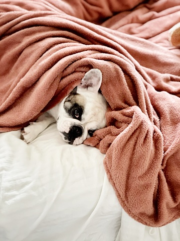 Duvet「Dog waking up in the morning in bed」:スマホ壁紙(9)
