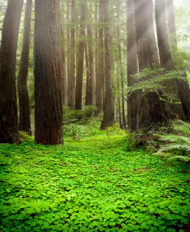Sequoia Tree「Coastal Redwood Forest Floor」:スマホ壁紙(12)