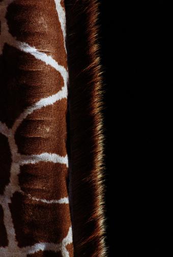 Giraffe「Giraffe's neck, close-up, side view」:スマホ壁紙(9)