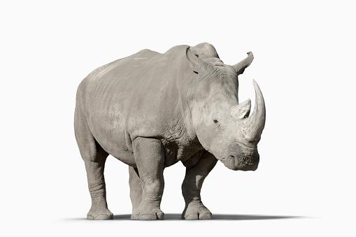Mammal「Rhinoceros walking in studio」:スマホ壁紙(4)