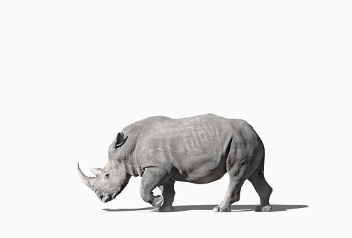Mammal「Rhinoceros walking in studio」:スマホ壁紙(16)
