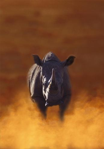 Endangered Species「rhinoceros, charging」:スマホ壁紙(9)