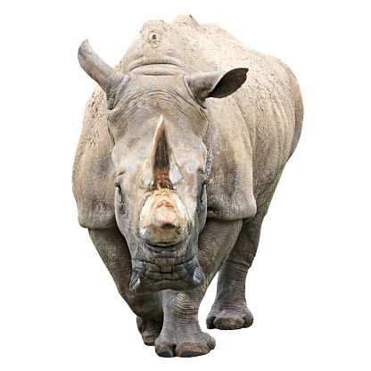 Mud「Rhinoceros with clipping path on white background」:スマホ壁紙(11)
