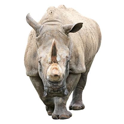 Rhinoceros「Rhinoceros with clipping path on white background」:スマホ壁紙(18)