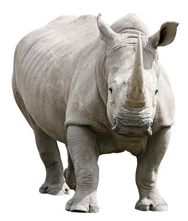 Rhinoceros「Rhinoceros with clipping path on white background」:スマホ壁紙(9)