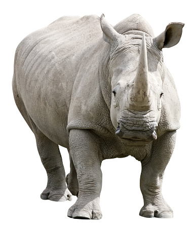 Horned「Rhinoceros with clipping path on white background」:スマホ壁紙(8)