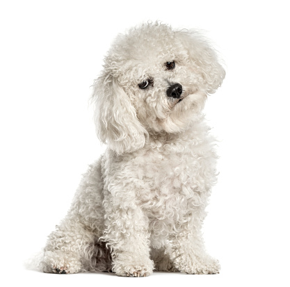 Solitude「Bichon sitting and bending head, isolated on white」:スマホ壁紙(2)