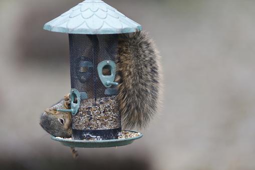 Squirrel「Squirrel raiding wild bird seed feeder」:スマホ壁紙(0)
