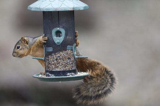Squirrel「Squirrel raiding wild bird seed feeder」:スマホ壁紙(2)