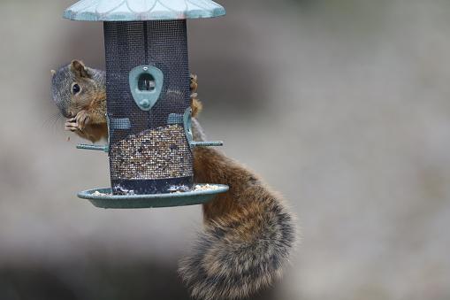 Squirrel「Squirrel raiding wild bird seed feeder」:スマホ壁紙(11)