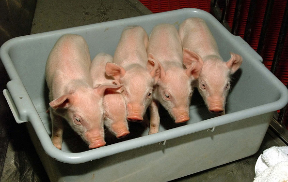 Transplant Surgery「Cloned Piglets To Be Used For Organs in Human Transpalnts」:写真・画像(7)[壁紙.com]