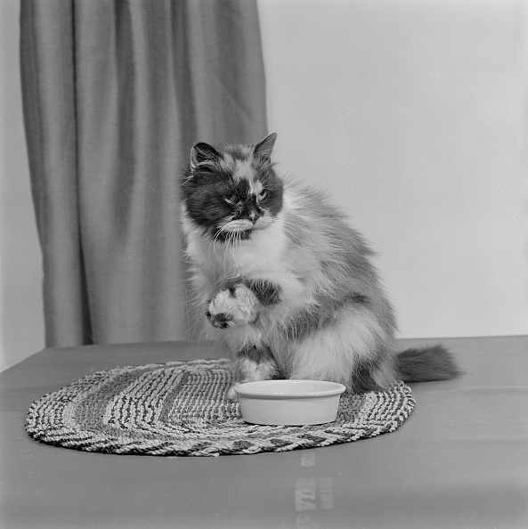 Bowl「A Long-Haired Tortoiseshell Cat Sitting On A Mat Beside A Bowl Of Food」:写真・画像(14)[壁紙.com]