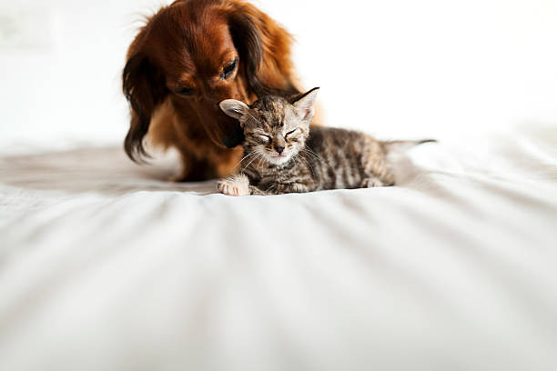 Long-haired dachshund and tabby kitten together on bed:スマホ壁紙(壁紙.com)