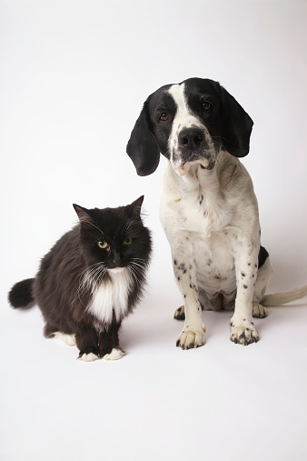 Mixed-Breed Cat「Long-Haired Domestic Cat And Springer Spaniel Mix Dog」:スマホ壁紙(15)