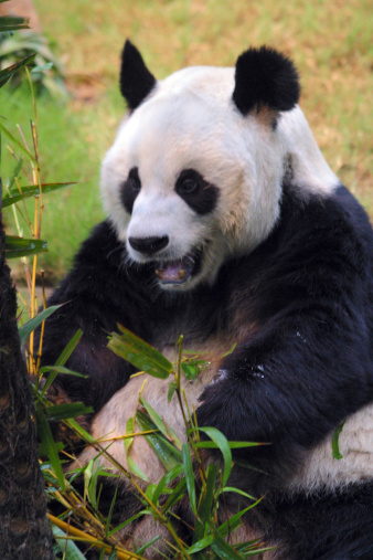 パンダ「A stock photo of a panda in a zoo enclosure, resting and eating shoots and leaves. Hong Kong Asia.」:スマホ壁紙(1)